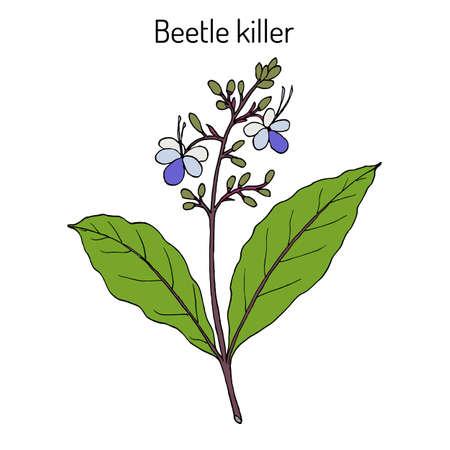 Beetle killer, Clerodendrum serratum , medicinal plant