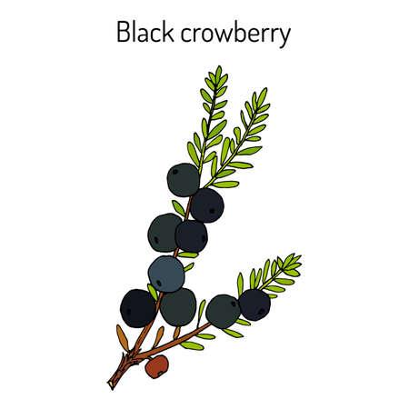 Black crowberry Empetrum nigrum , medicinal plant