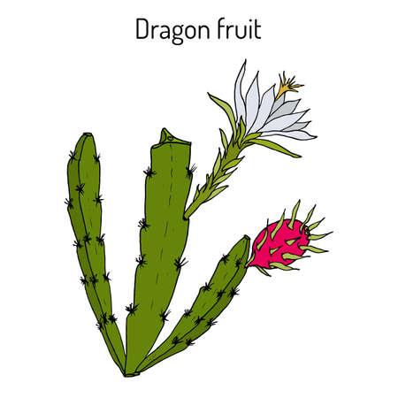 Dragon fruit, or pitaya Hylocereus undatus , edible and medicinal plant Ilustração