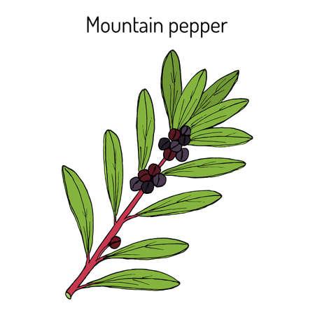Mountain pepper Tasmannia lanceolata , medicinal plant
