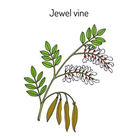 Jewel vine Derris scandens , medicinal plant Ilustração