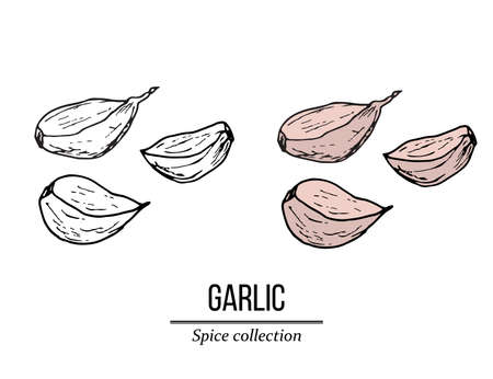 Spice collection, garlic hand drawn