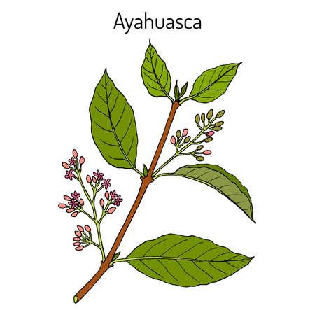 Ayahuasca Banisteriopsis caapi , medicinal plant
