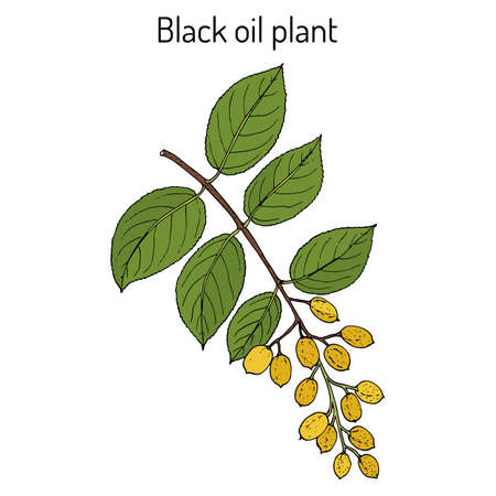 Black oil plant, or intellect tree celastrus paniculatus , medicinal plant