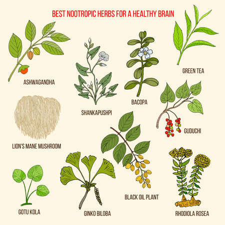 Best nootropic medicinal herbs for a healthy brain 矢量图像