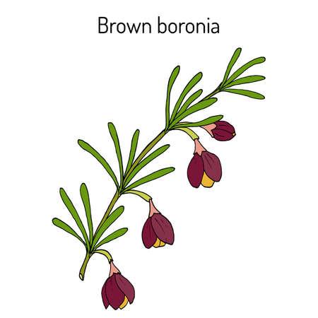Brown boronia B. megastigma , medicinal plant