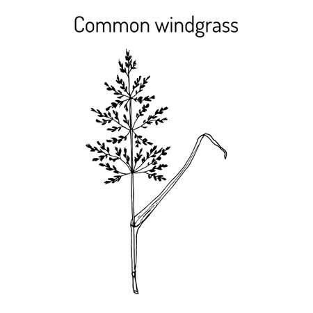 Loose silky-bent or common windgrass Apera spica-venti , weed grass