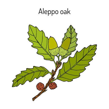 Roble carrasco Quercus infectoria, planta medicinal