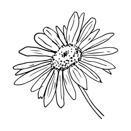 Daisy flower sketch on white background