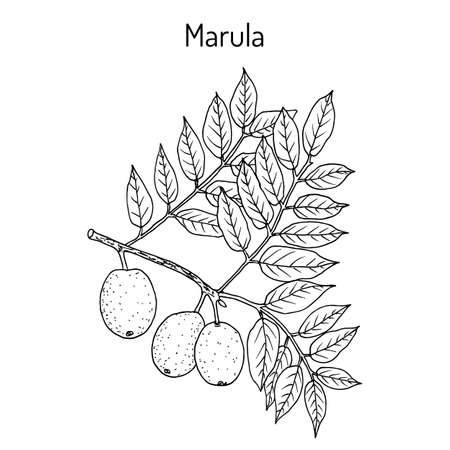 Marula sclerocarya birrea , or jelly plum, cat thorn, morula, cider tree, medicinal plant