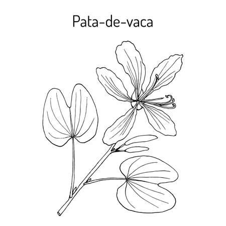 Brazilian orchid tree, or pata-de-vaca Bauhinia forficata , medicinal plant. Hand drawn botanical vector illustration Çizim