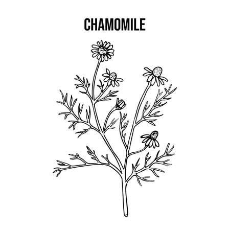 Kamille oder Kamille Matricaria chamomilla, Heilpflanze