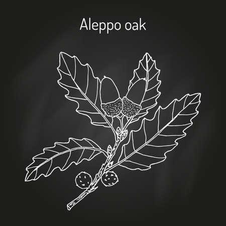 Aleppo oak Quercus infectoria , medicinal plant