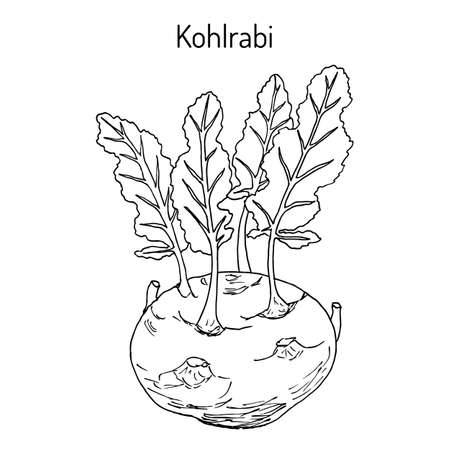 Kohlrabi cabbage Brassica oleracea , edible and medicinal plant