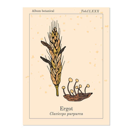 Ergot fungi Claviceps purpurea , medicinal plant
