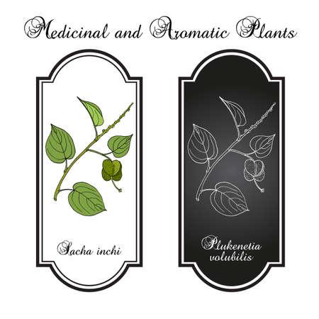 Sacha inchi Plukenetia volubilis , medicinal plant