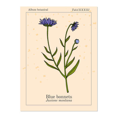 Blue bonnets Jasione montana , or sheeps bit scabious, iron flower medicinal plant. Hand drawn botanical vector illustration Ilustração