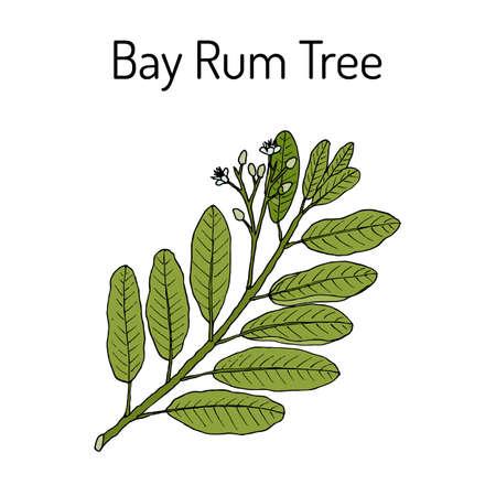 Bay rum Pimenta racemosa , medicinal plant Stock Illustratie