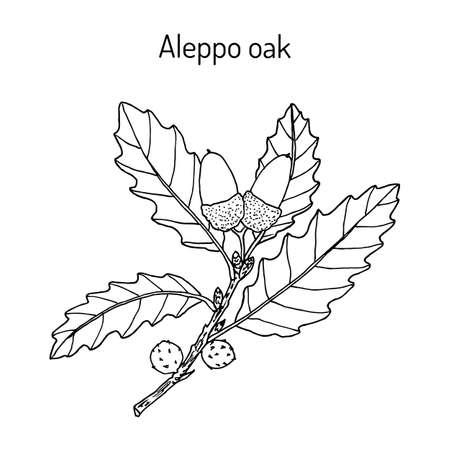 Roble carrasco Quercus infectoria, planta medicinal Ilustración de vector