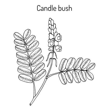 Candle bush Cassia, or senna alata , ornamental and medicinal plant. Hand drawn botanical vector illustration