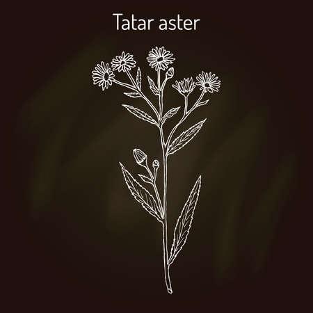 Tatarinows aster Aster tataricus , medicinal plant