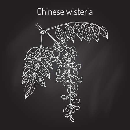 Chinese wisteria Wisteria sinensis , ornamental and medicinal plant. Hand drawn botanical vector illustration