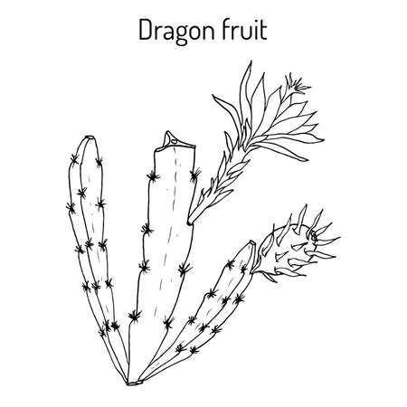 Dragon fruit, or pitaya Hylocereus undatus , edible and medicinal plant Illustration