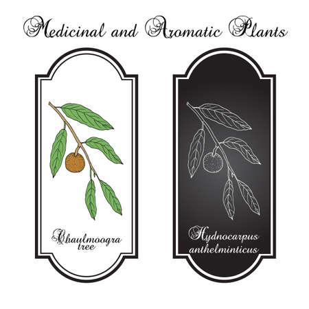 Chaulmoogra tree Hydnocarpus anthelminticus , medicinal plant Illusztráció