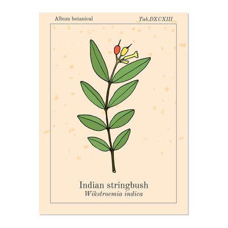 Indian stringbush Wikstroemia indica , or tie bush, small-leaf salago, medicinal plant  イラスト・ベクター素材