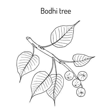 Figue sacrée, ou arbre de bodhi Ficus religiosa , plante médicinale