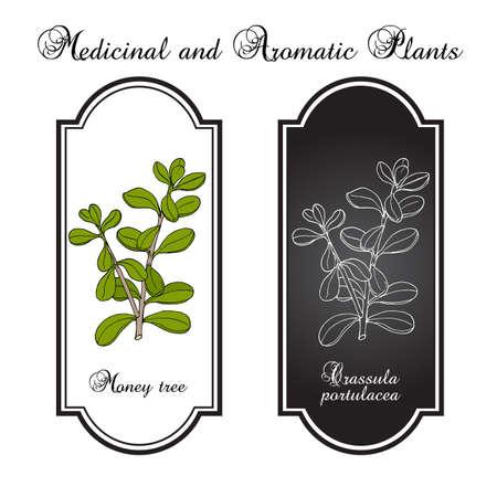 Money tree or jade plant Crassula portulacea , medicinal plant