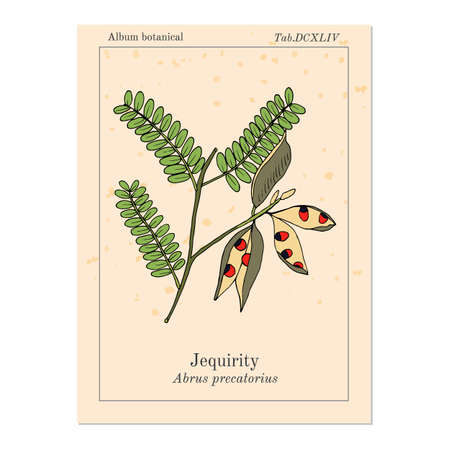 Jequirity Abrus precatorius , medicinal plant