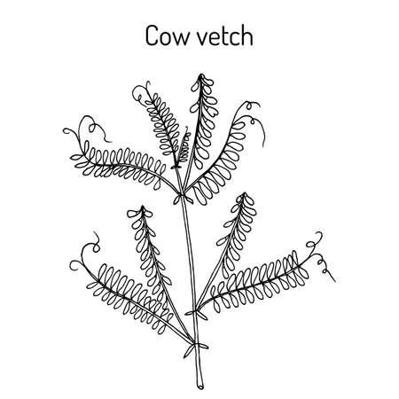 Cow vetch vicia cracca , medicinal plant Vectores