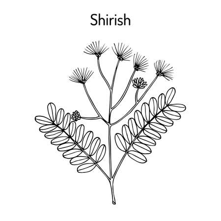 Shirish albizia lebbeck , or lebbek tree, medicinal plant. Hand drawn botanical vector illustration Ilustração