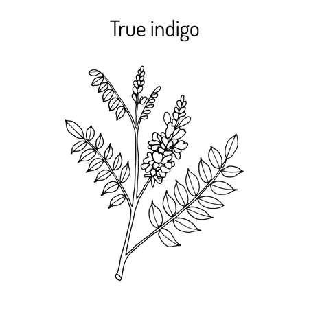True indigo indigofera tinctoria , medicinal plant Ilustração Vetorial