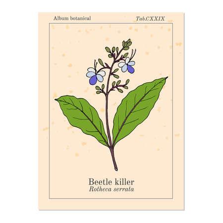 Beetle killer, Clerodendrum serratum , medicinal plant Foto de archivo - 137475799