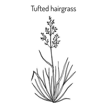 Tufted hairgrass Deschampsia cespitosa , or tussock grass, medicinal plant Vettoriali