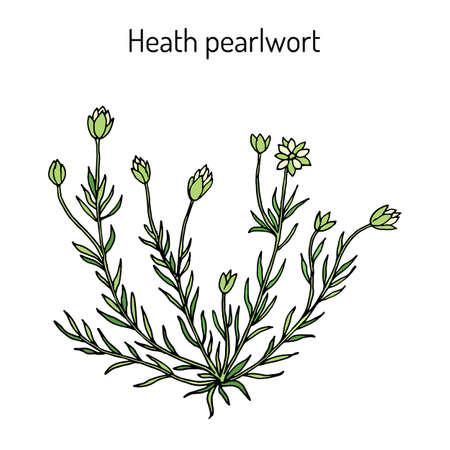 Heath pearlwor sagina subulata , or irish-moss, medicinal plant Illustration