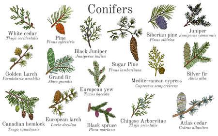 Satz verschiedene Koniferenzweige mit Zapfen. Handgezeichnete botanische Vektorillustration Vektorgrafik