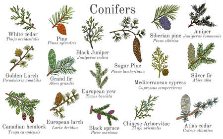 Set of different conifiers branches with cones. Hand drawn botanical vector illustration