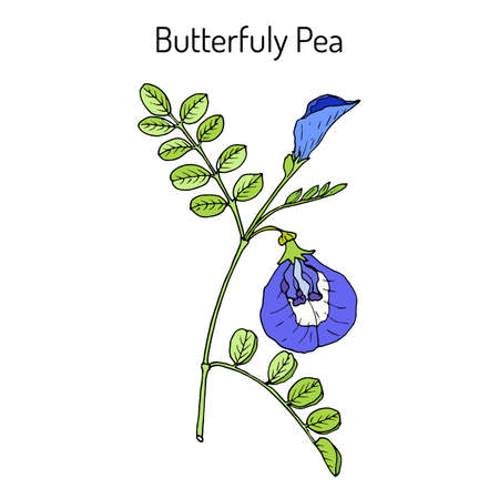 Butterfly pea litoria ternatea , or bluebellvine, medicinal plant. Hand drawn botanical vector illustration