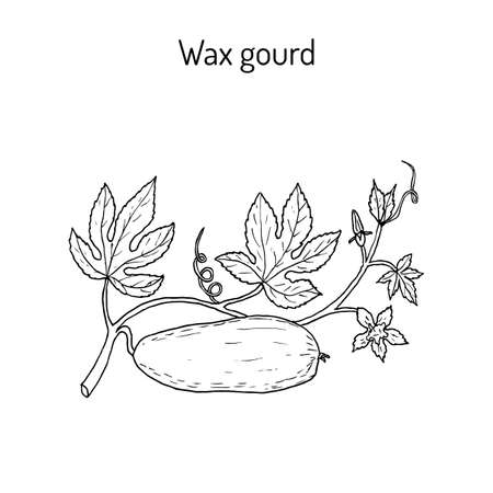 Wax gourd Benincasa hispida , or ash pumpkin