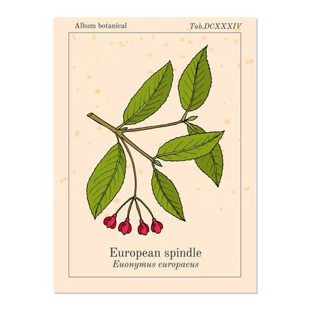 Spindle Euonymus europaeus , medicinal plant