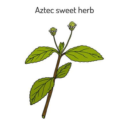 Aztec sweet herb Lippia dulcis , medicinal plant and sweetener