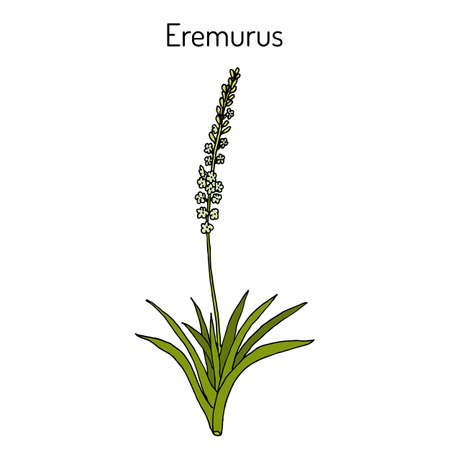 Eremurus himalaicus, ornamental and medicinal plant