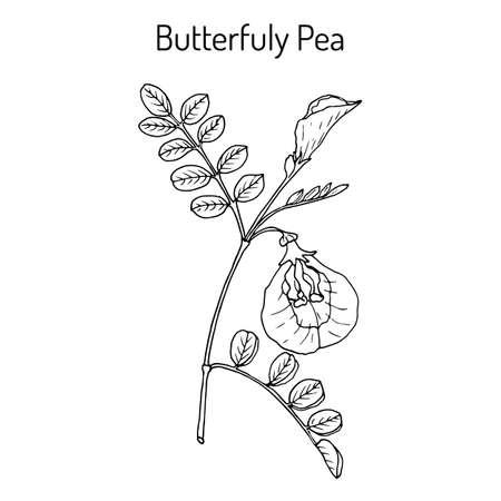 Pisello di farfalla litoria ternatea, o bluebellvine, pianta medicinale. Illustrazione vettoriale botanica disegnata a mano