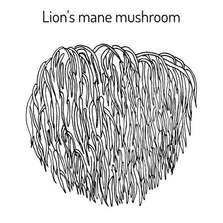 Seta de melena de león Hericium erinaceus, planta comestible y medicinal. Dibujado a mano ilustración vectorial botánica