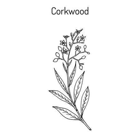 Corkwood Duboisia myoporoides , medicinal plant. Hand drawn botanical vector illustration