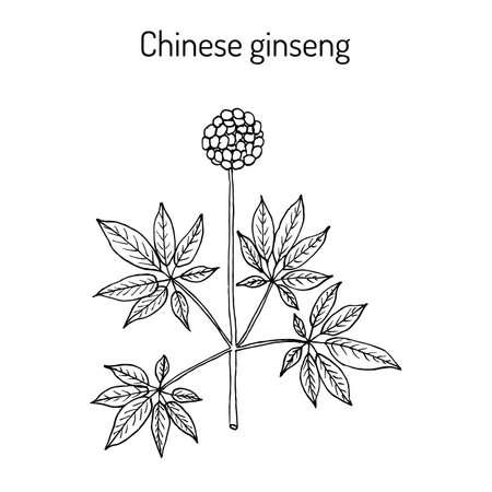 Chinese ginseng Panax notoginseng , or three-seven root, medicinal plant