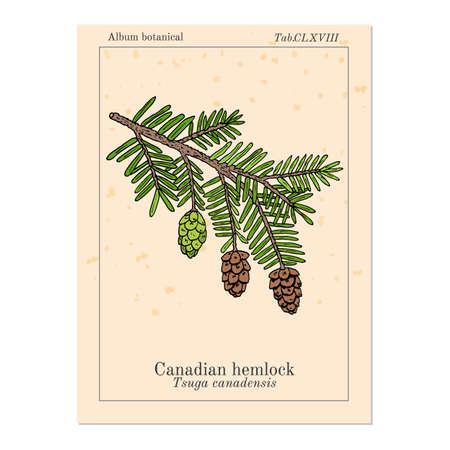 Canadian hemlock Tsuga canadensis , medicinal plant Vetores